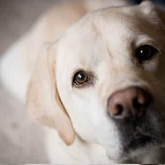 white lab dog
