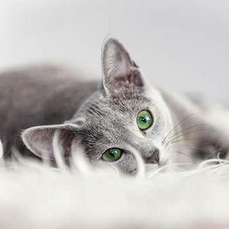 grey cat with green eyes