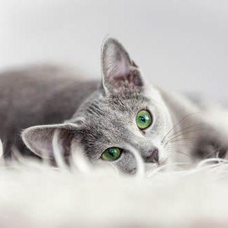 Pet Friendly Apartments in West Palm Beach FL cat_gray